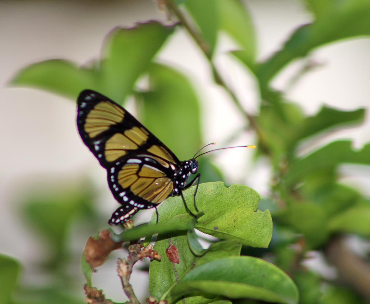 imagens borboleta-gethsemani