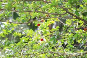 meio ambiente gethsemani acerola